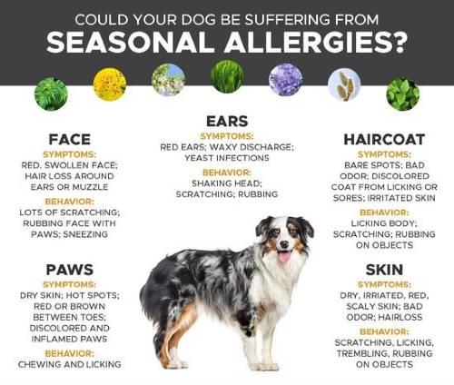 dog suffering from seasonal allergies