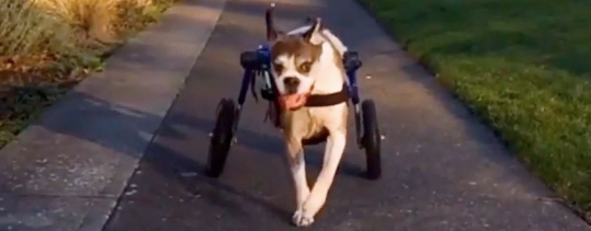 Read more about the article Dog Wheelchair