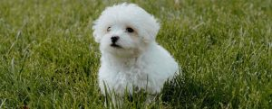 small breed puppy image